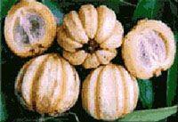 ผลส้มแขก Agel FIT (SLM)