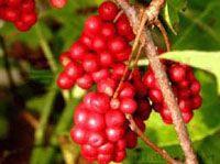 Agel OHM Schizandra fruit