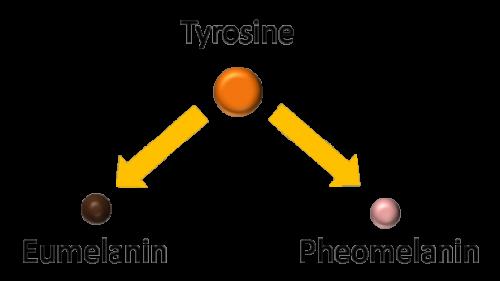 ผิวขาวขึ้นนั้นเกิดจากกระบวนการสร้างเม็ดสีเมลานิน โดย Glutathione ไปลดการสร้างเม็ดสีโดยการยับยั้งเอนไซม์ Tyrosinase และกระตุ้นให้สร้าง Phaeomelanin