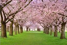 ภาพวิวซากุระ_cherry Blossom_Photowall