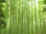 ภาพวิวป่าไผ่_photowall