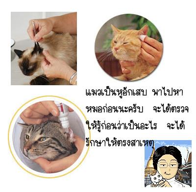 วิธีล้างทำความสะอาดช่องหูแมว by click2vet
