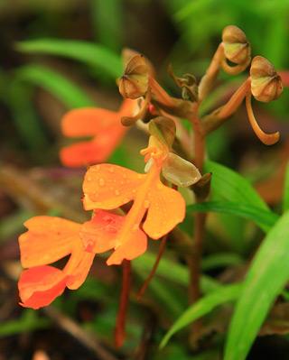 ดอกลิ้นมังกรส้ม ภูหินร่องกล้า
