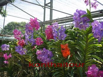 ฟาห์มกล้วยไม้ + ผีเสื้อ เชียงใหม่ ,orchid farm chiang mai