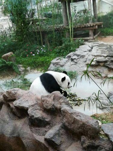 หมีแพนด้าเชียงใหม่