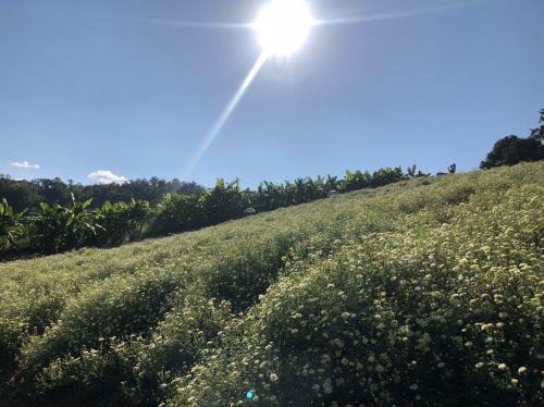 """คนไทยทัวร์ พาชม ทุ่ง ดอกเก๊กฮวย"""" ทุ่งดอกไม้สีขาว บานสวยสะพรั่งทั้งดอย  จะเยียวยาทุกสิ่ง ที่ อ.สะเมิง เชียงใหม่ เ"""