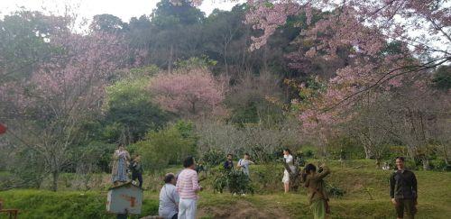 คนไทยทัวร์ อัพเดท 🌸ดอกนางพญาเสือโคร่ง  ที่บ้านขุนช่างเคี่ยน เชียงใหม่ ณ วันที่ 22 มค 62