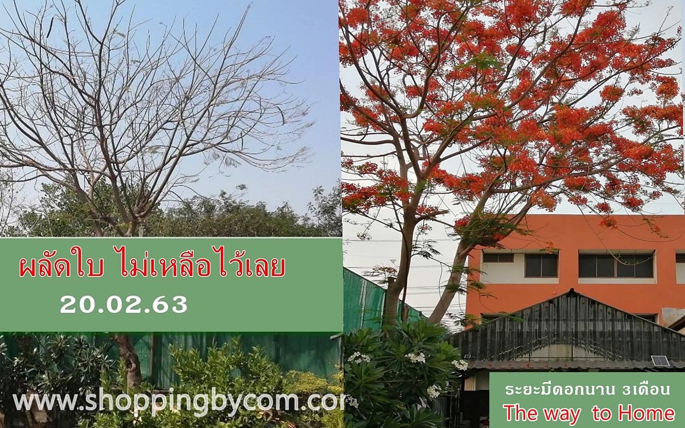 ต้นหางนกยูง ต้นไม้ริมรั้ว  ไม้ประดับบ้าน ไม้ประดับสวน ต้นไม้ทางเข้าบ้าน