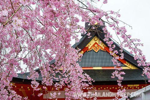 ✿ ฤดูใบไม้ผลิ (ฮารุ) จะเริ่มต้นในเดือนมีนาคม ไปจนถึงเดือนพฤษภาคม เป็นช่วงเวลาแห่งความสดชื่น เพราะในฤดูนี้ ดอกไม้จะเริ่มผลิแย้ม ใบไม้สีเขียวขจี ลมเย็นๆ สบายๆ ที่พัดพาเอากลิ่นไอธรรมชาติ บวกกับสีสรรแห่งการเริ่มต้นชีวิตใหม่อีกครั้ง เป็นฤดูที่น่าเที่ยวมากที่สุด โดยเฉพาะ ช่วง เดือนเมษายน อันเป็นเดือนที่ดอกซากุระบานสะพรั่งทุกแห่งหน จะถูกปกคลุมไปด้วย สีชมพู และขาว ชาวญี่ปุ่นจะพากันเอาเสื่อมาปูใต้ต้นซากุระ และจิบสาเก ชื่นชมความงาม ของดอกซากุระ ซึ่งเป็นภาพที่ติดอยู่ในความทรงจำนั่นเอง