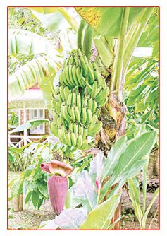 ต้นไม้มงคล ปีชวด เชื่อกันว่า เทวดานางฟ้าประจำตัวสถิตอยู่ที่ ต้นกล้วย