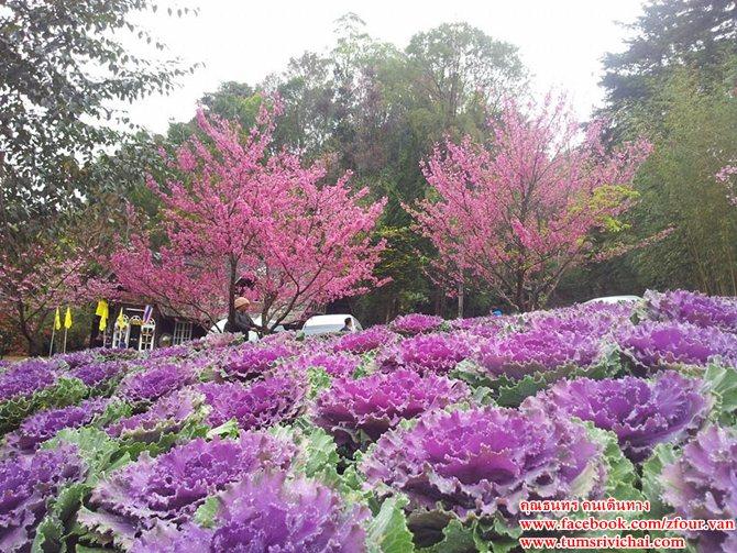 ดอกพญาเสือโคร่ง ออกดอกบานสะพรั่ง AngKhang Station - สถานีเกษตรหลวงอ่างขาง