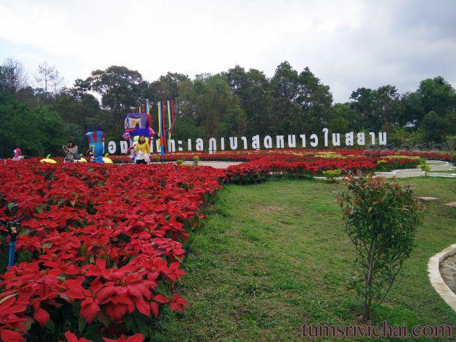 เมืองแห่งทะเลภูเขาสุดหนาวในสยาม Poinsettia Garden Phurua