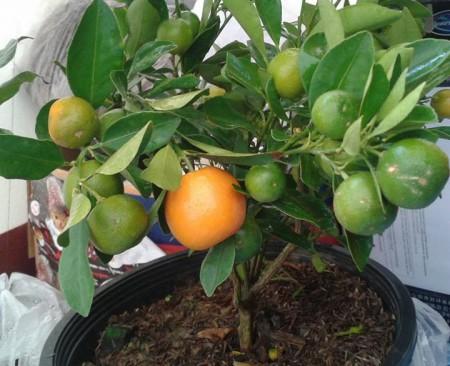 ต้นส้มจีน Gam Gat Sue (金橘) จะมีความหมายสัญลักษณ์ ของความมั่งมี