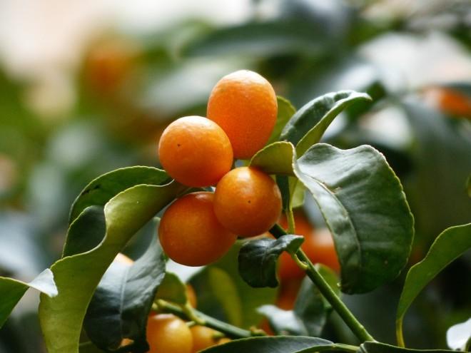 ต้นส้มจีน Kumquat tree หมายถึงส้มสีทอง ความมั่งคั่ง นิยมในวันตรุษจีน