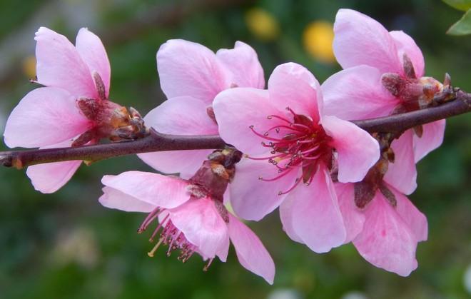 ดอกท้อ (Peach blossom) สัญลักษณ์แทนความหมายถึงชีวิตที่ยืนยาว