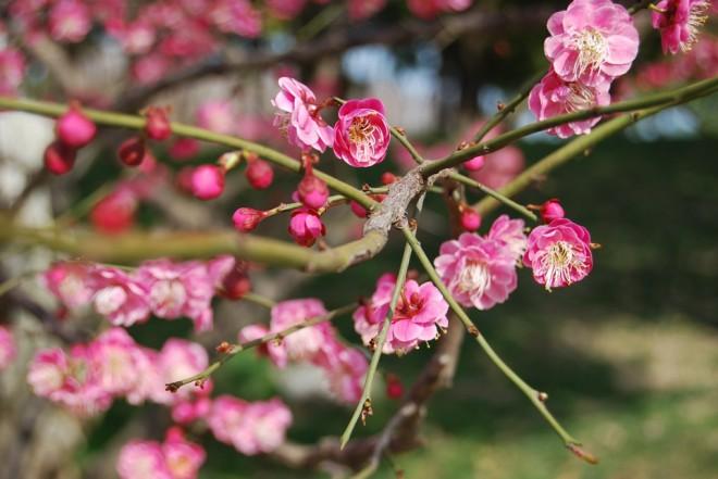 ดอกพลัม หรือดอกบ๊วย (Plum blossoms) เปรียบเหมือนความอดทนความสุขในวัยชรา