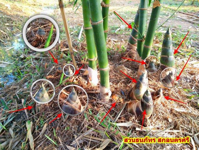 วิธีปลูกไผ่กมซุง นอกฤดู ราคาหน่อไม้แพง ไผ่ตงลืมแล้งน่าปลูก