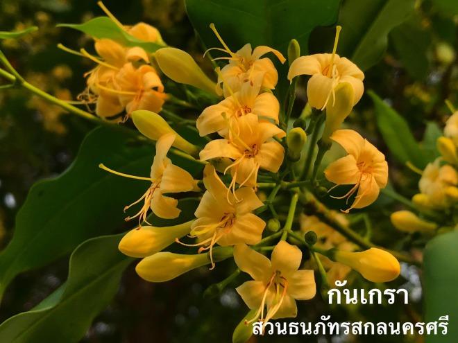 ดอกกันเกรา ต้นไม้มงคล ดอกหอมเย็นสดชื่น