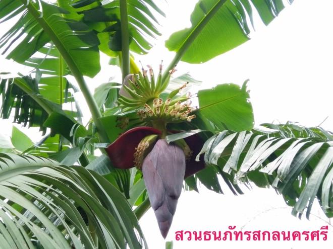 กล้วยน้ำว้าเวียดนาม ลำต้นและเครือใหญ่มาก มีจำนวนหลายหวี