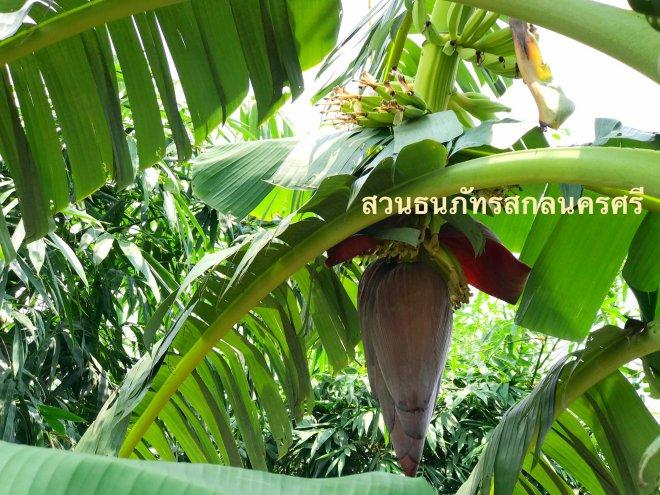 ปลีกล้วยน้ำว้าเวียดนาม มีขนาดใหญ่