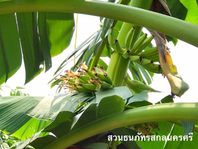 กล้วยน้ำว้าเวียดนาม หวีใหญ่