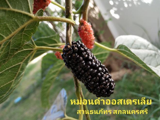 Black Australia Mulberry