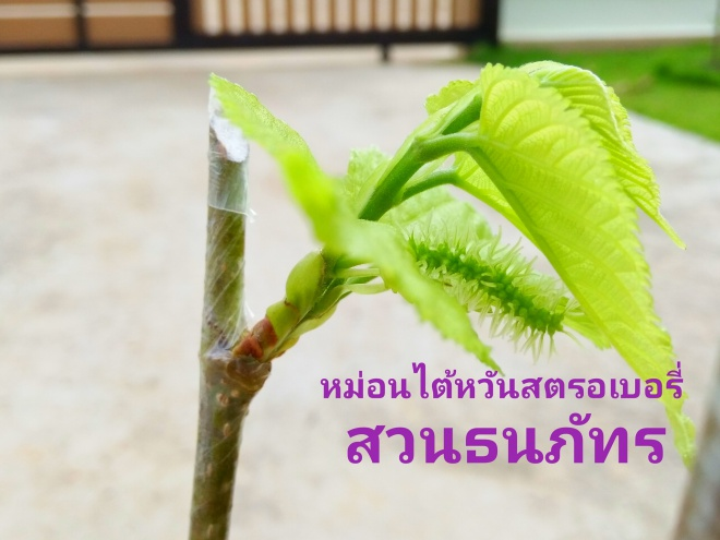 ต้นหม่อนไต้หวันสตอเบอร์รี่ เสียบลงบนหม่อนพันธุ์ไทย มีขายสำหรับผู้ที่สนใจ