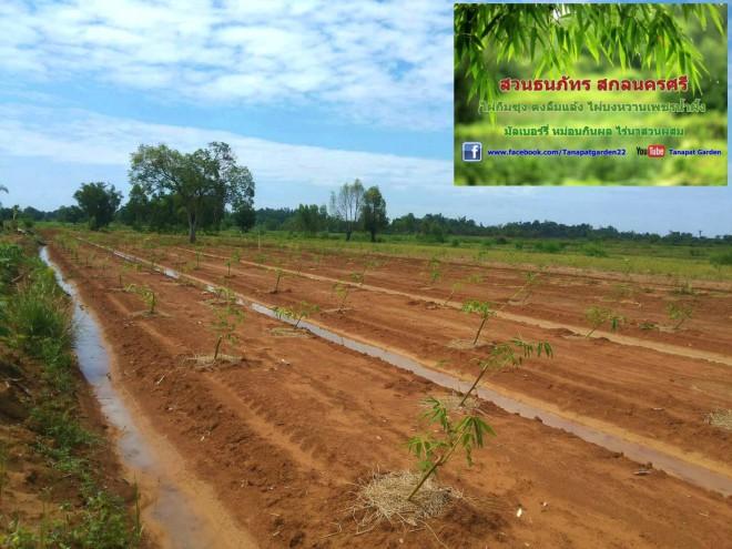 ไผ่ตงอินโดจีน หลังจากปลูกได้1เดือน ดูแลรักษาง่ายได้มากกว่าหน่อไม้