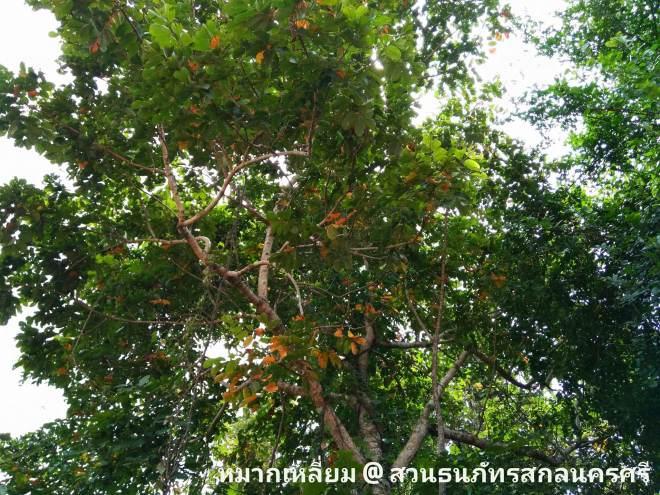 ต้นหมากเหลี่ยม มะกอกเกลื้อน