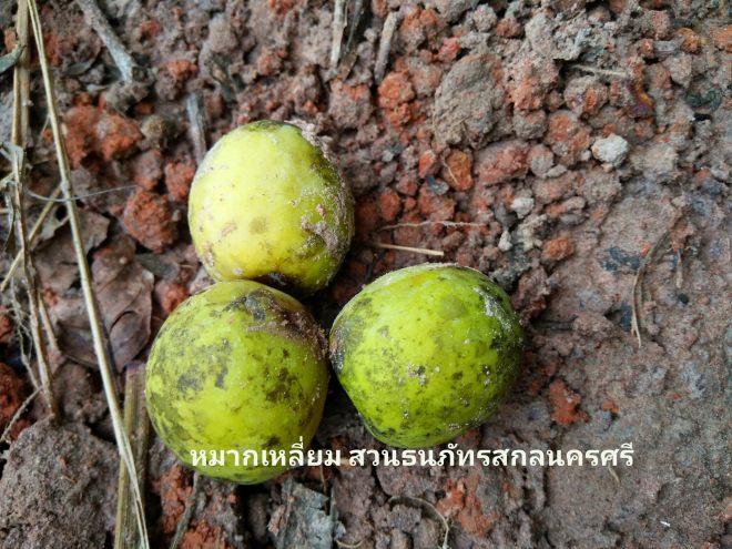หมากเหลี่ยม มะกอกเกลื้อน ผลไม้ป่าภาคอีสาน