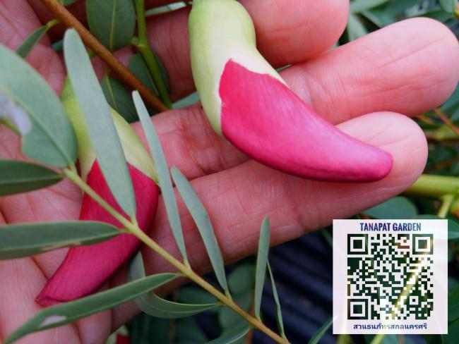 ดอกแคแดง พืชสมุนไพร ต้นไม้พื้นบ้านที่มากด้วยประโยชน์