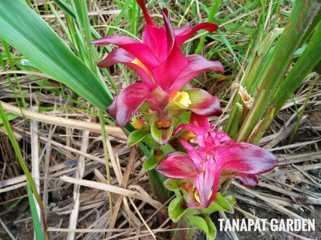 ดอกกระเจียวแดง พรรณไม้ล้มลุกกินได้ สรรพคุณหลากหลาย