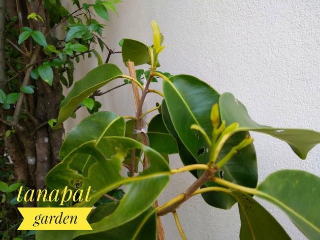 ต้นลูกหว้าสีชมพู Jambolan plum ผลใหญ่เนื้อกรอบไม่เละ
