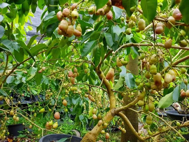 ต้นหว้าสีชมพู เมื่อต้นใหญ่แข็งแรง ติดลูกดกมากเลยทีเดียว