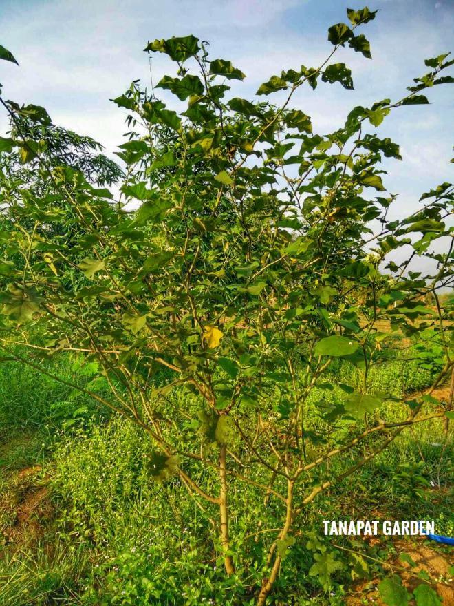 ต้นมะเขือพวง มีอายุเก็บผลผลิตได้นาน ถ้ารู้จักตัดแต่งและบำรุง