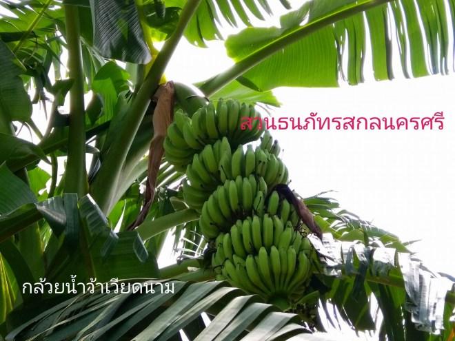 กล้วยน้ำว้าเวียดนาม