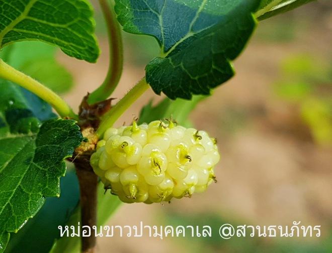 หม่อนขาวปามุคคาเล ตุรกี White Mulberry มัลเบอร์รี่สายพันธุ์ต่างประเทศ