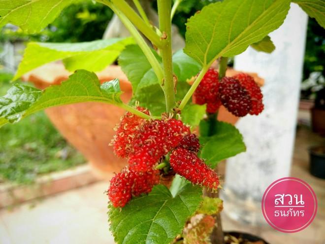กิ่งสดพันธุ์มัลเบอร์รี่ Mulberry สามารถนำมาปักชำได้ง่ายๆ