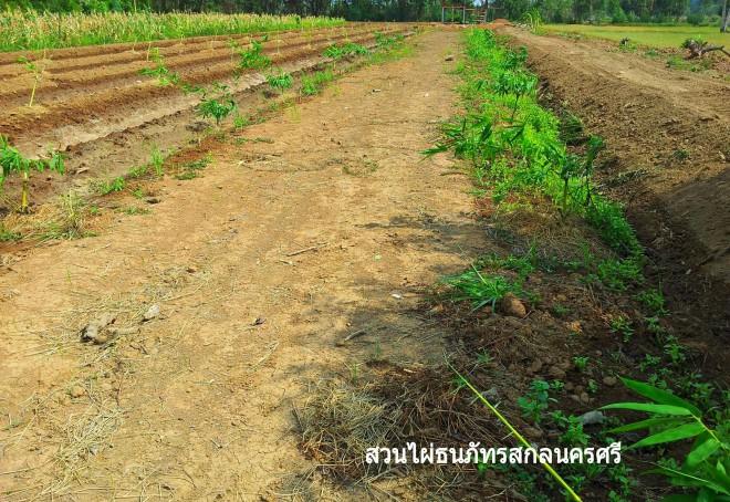 สวนไผ่ตงลืมแล้ง ไผ่กิมซุง ธนภัทรการ์เด้น จ.สกลนคร