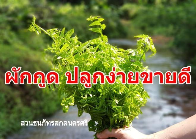 ผักกูด พืชที่มีตามธรรมชาติ เก็บขายได้ราคาดี วิธีปลูกผักกูดเพื่อให้ได้ยอดอ่อน