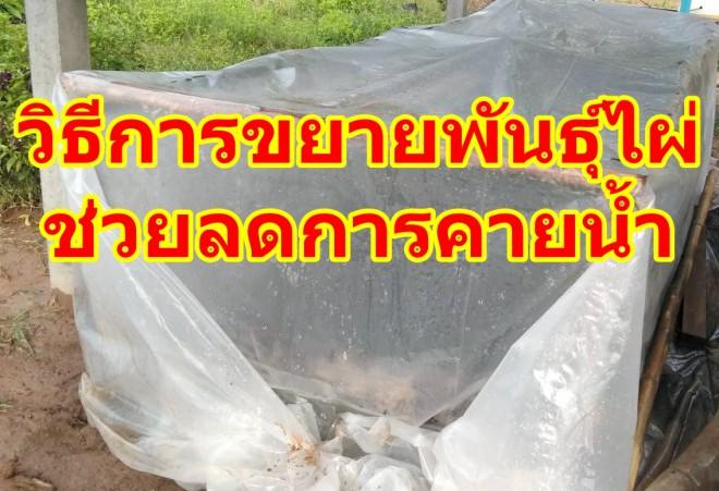วิธีขยายพันธุ์ไผ่ อบถุงชำเพื่อเร่งยอดเร่งราก ลดการคายน้ำ