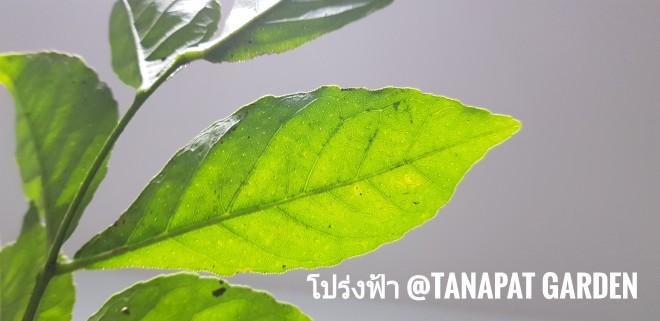 ต้นส่องฟ้า โปร่งฟ้า ส่องฟ้าดงพืชสมุนไพรไทยใบคล้ายใบแก้ว