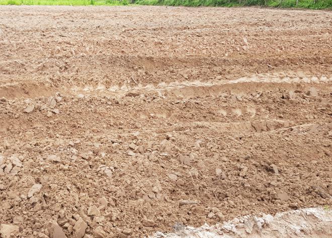 ทำการไถพรวนดินตากแดดเอาไว้ เพื่อเตรียมปลูกหญ้าหวานมหาสารคาม
