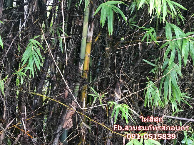 ไผ่สีสุก เป็นไผ่ที่เนื้อไม้เหนียวและแข็ง หนึ่งในไผ่มงคลความเชื่อของคนไทย