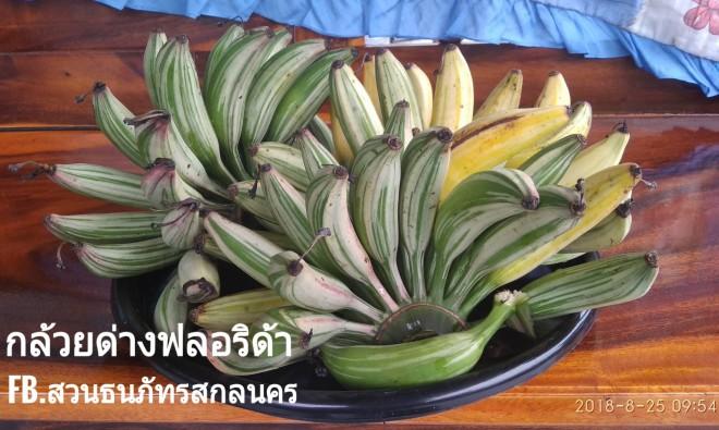 ผลกล้วยด่างฟลอริด้า จะมีรสชาติคล้ายกับกล้วยไข่อมเปรี้ยว