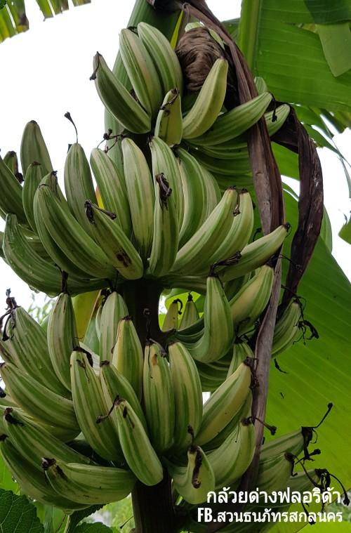 ขายหน่อกล้วยด่างฟลอริด้า