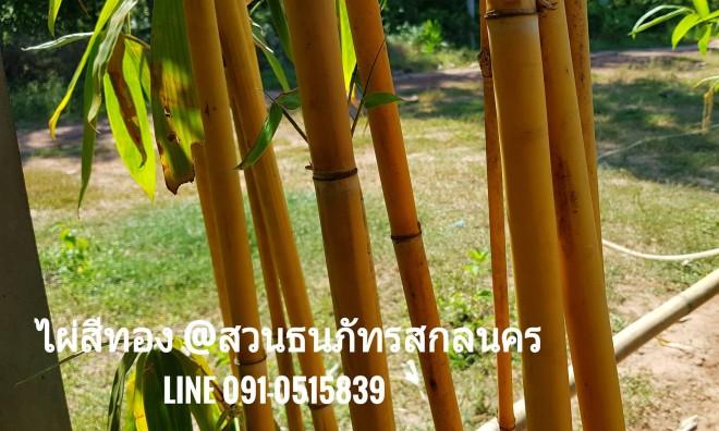 ไผ่สีทอง ไม้มงคลหรือไผ่เหลืองทอง (Phyllostachys sulphurea)