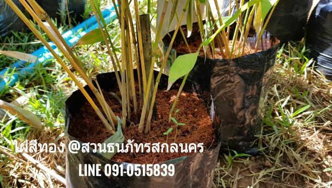 การปลูกต้นไผ่สีทอง ไม้มงคล เพื่อประดับสวนให้ดูโดดเด่น