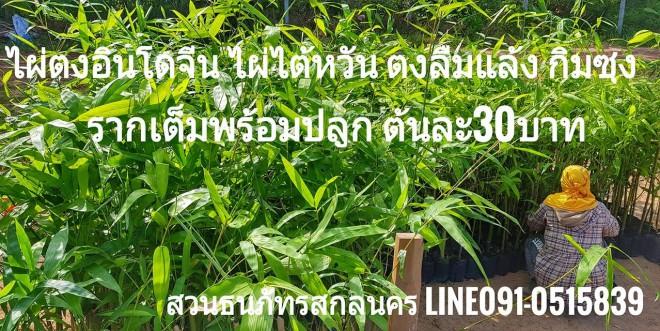 ราคาต้นพันธุ์ไผ่กิมซุง ไผ่ตงลืมแล้ง ไผ่ตงอินโดจีน ไผ่ทองสยาม ไผ่ไต้หวัน