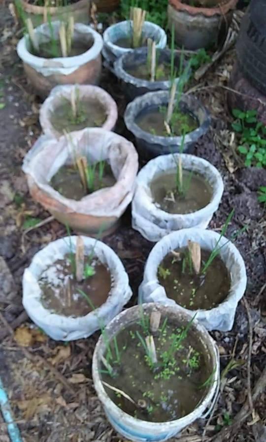ต้นหน่อไม้น้ำ ปทุมธานี ที่เริ่มแตกยอดใหม่ จากต้นพันธุ์ของทางสวน